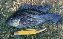 Image of Oreochromis mossambicus (Mozambique tilapia)