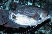 Image of Osphronemus laticlavius (Giant red tail gourami)
