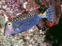 Image of Ostracion meleagris (Whitespotted boxfish)
