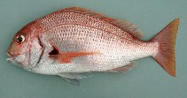 Image of Pagrus africanus (Southern common seabream)