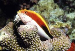 Image of Paracirrhites forsteri (Blackside hawkfish)