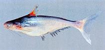 Image of Pangasius myanmar