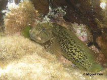 Image of Parablennius parvicornis (Rock-pool blenny)
