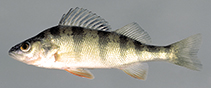 Image of Perca flavescens (American yellow perch)