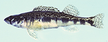 Image of Percina gymnocephala (Appalachia darter)