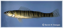 Image of Percina macrolepida (Bigscale logperch)