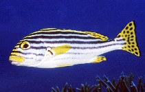 Image of Plectorhinchus vittatus (Indian Ocean oriental sweetlips)