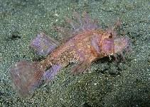 pteroidichthys amboinensis ambon scorpionfish