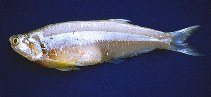 Image of Pterengraulis atherinoides (Wingfin anchovy)