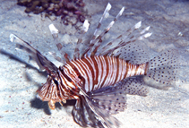 Image of Pterois miles (Devil firefish)