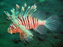 Image of Pterois russelii (Plaintail turkeyfish)