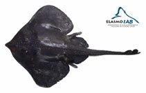 Image of Rajella nigerrima (Blackish skate)