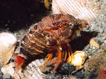 Image of Rhamphocottus richardsonii (Grunt sculpin)