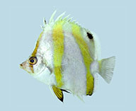 Image of Roa australis (Triple-banded butterflyfish)
