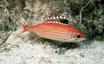 Image of Sargocentron coruscum (Reef squirrelfish)
