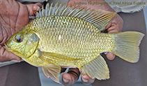 Sarotherodon galilaeus, Mango tilapia : fisheries