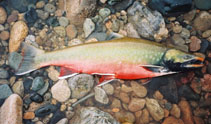 Image of Salvelinus malma (Dolly varden)