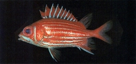 Image of Sargocentron spinosissimum (North Pacific squirrelfish)