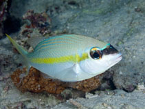 Image of Scolopsis aurata (Yellowstripe monocle bream)