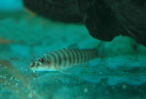 Image of Schistura beavani (Creek loach)