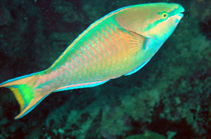 Image of Scarus maculipinna (Spot fin parrotfish)
