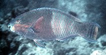Image of Scarus russelii (Eclipse parrotfish)