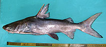 Image of Sciades sona (Sona sea catfish)