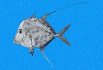 Image of Selene orstedii (Mexican moonfish)