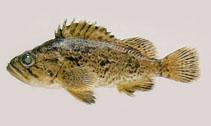 Image of Sebastes schlegelii (Korean rockfish)
