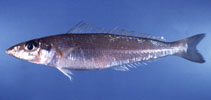 Image of Sillago analis (Golden-lined sillago)