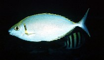Image of Siganus argenteus (Streamlined spinefoot)