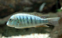 Image of Simochromis diagramma