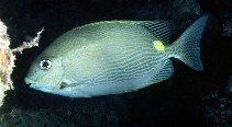 Image of Siganus lineatus (Golden-lined spinefoot)