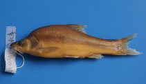 Image of Sinocyclocheilus yishanensis