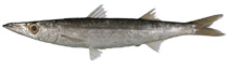 Image of Sphyraena japonica (Japanese barracuda)