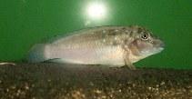 Image of Spathodus marlieri