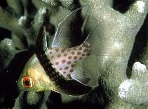 Image of Sphaeramia nematoptera (Pajama cardinalfish)