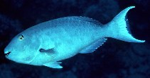 Image of Sparisoma rubripinne (Redfin parrotfish)