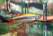 Image of Tanichthys albonubes (White cloud mountain minnow)