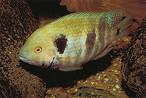 Image of Theraps godmanni (Southern checkmark cichlid)