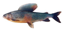 Image of Thymallus flavomaculatus (Yellow-spotted grayling)