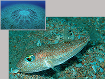 Image of Torquigener albomaculosus (White-spotted pufferfish)