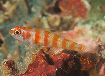Image of Trimma cana (Candycane pygmy goby)