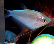 Image of Trichopodus microlepis (Moonlight gourami)