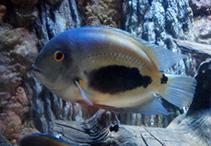 Image of Uaru amphiacanthoides (Uaru)