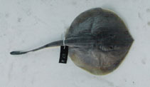 Image of Urotrygon microphthalmum (Smalleyed round stingray)