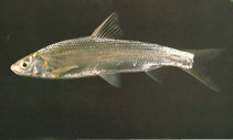 Image of Xenocypris macrolepis (Yellowfin)