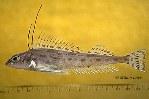 Image of Zaniolepis latipinnis (Longspine combfish)