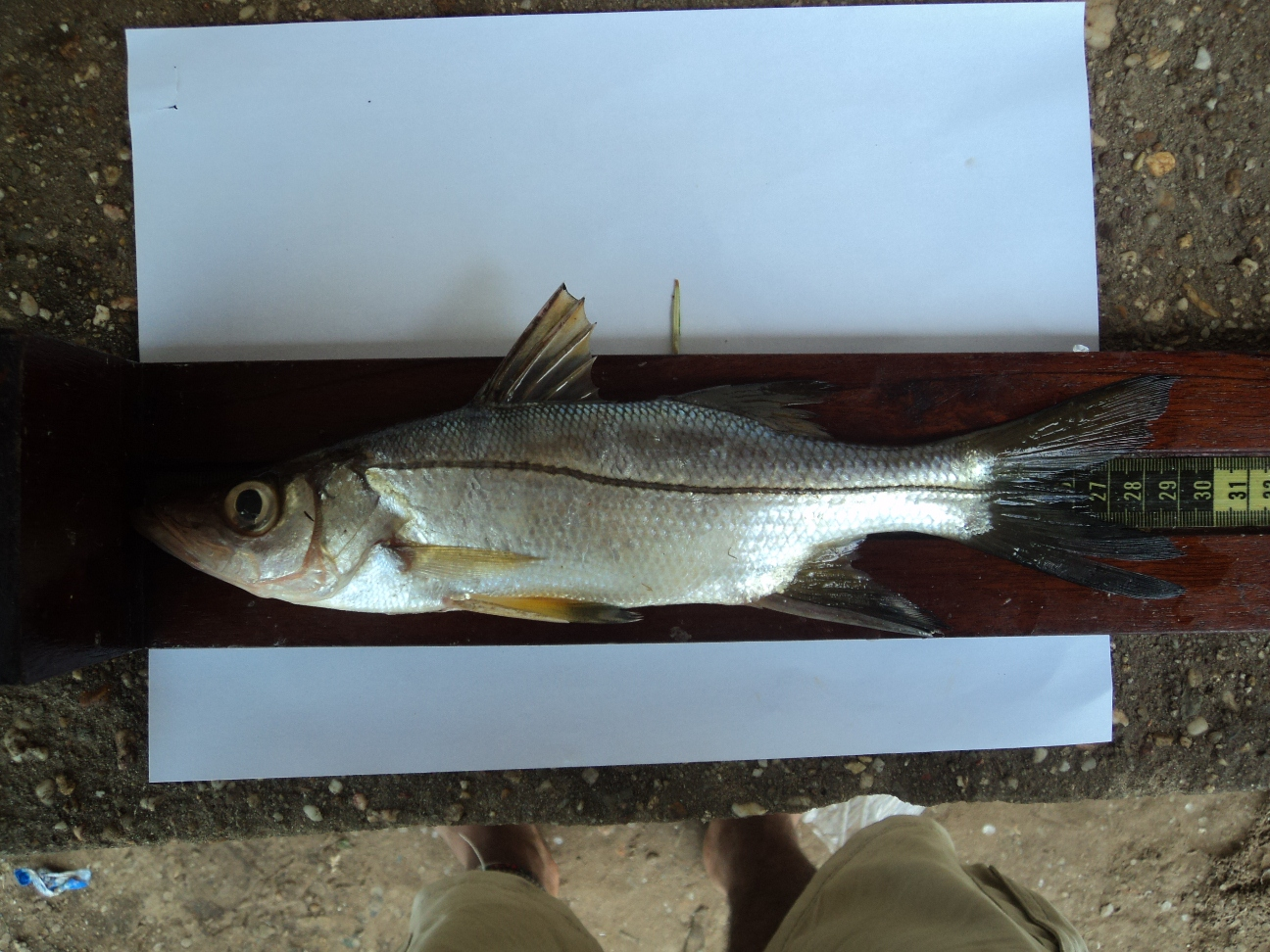 La Pesca del Róbalo (Centropomus sp.) por José Manuel López Pinto / Actualizado a 03 de Noviembre del 2013 1363913004_186.2.136.209